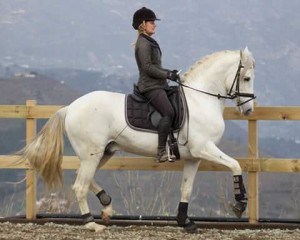 Me dressage stallion